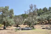 The columns in an olive grove - Euromos
